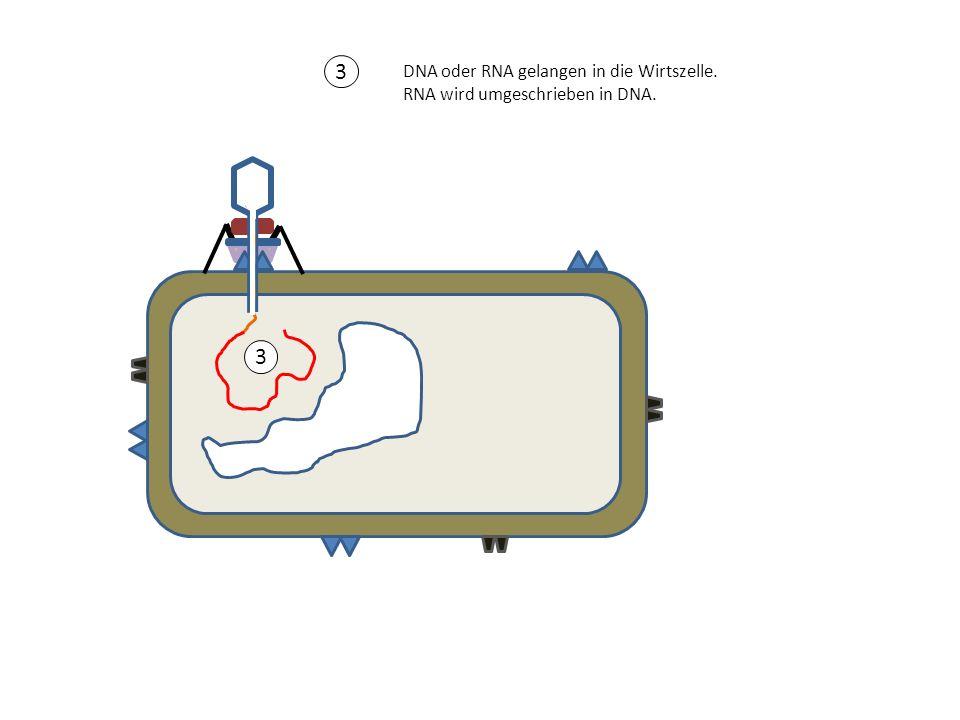 3 3 DNA oder RNA gelangen in die Wirtszelle.