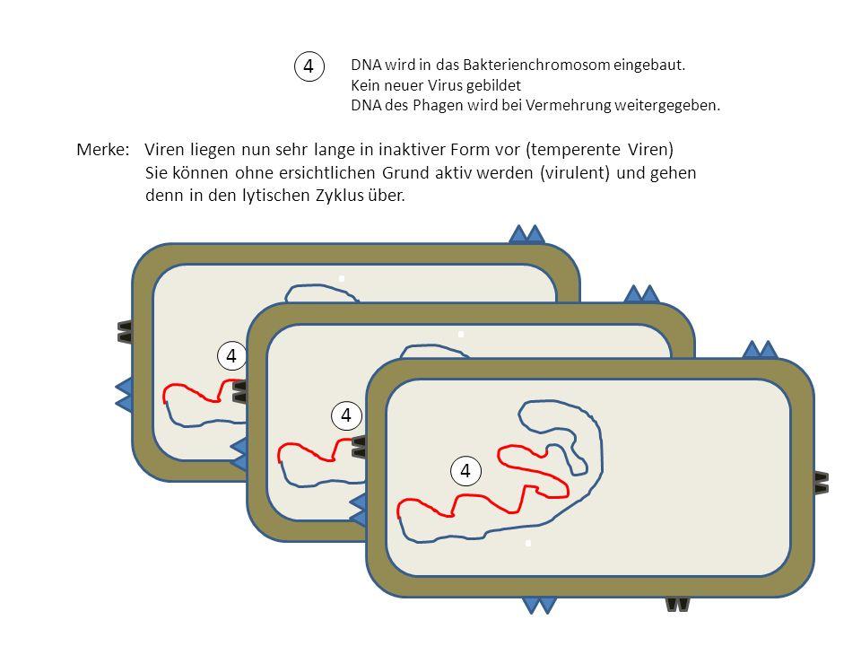 4 DNA wird in das Bakterienchromosom eingebaut. Kein neuer Virus gebildet DNA des Phagen wird bei Vermehrung weitergegeben.