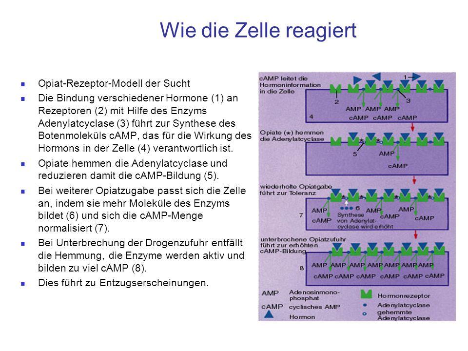 Wie die Zelle reagiert Opiat-Rezeptor-Modell der Sucht