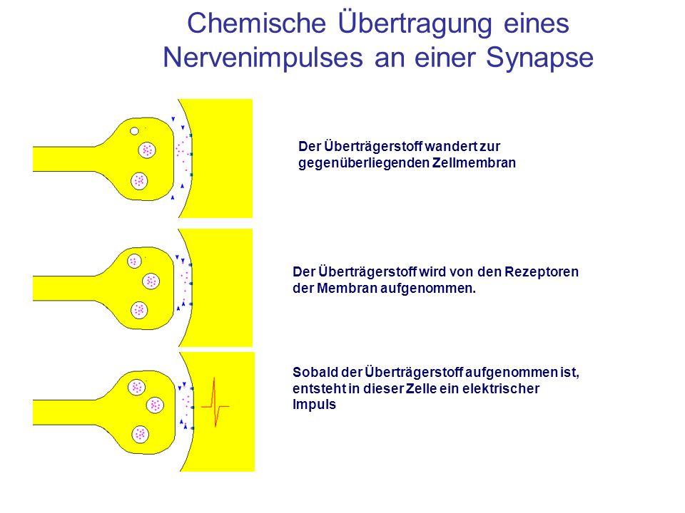 Chemische Übertragung eines Nervenimpulses an einer Synapse