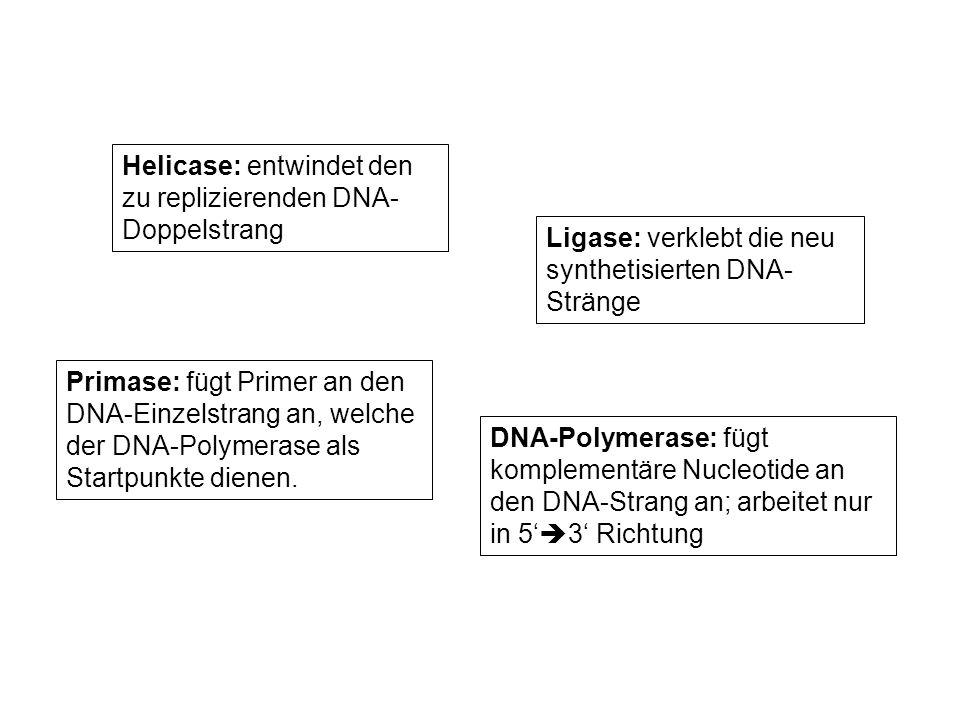 Helicase: entwindet den zu replizierenden DNA-Doppelstrang