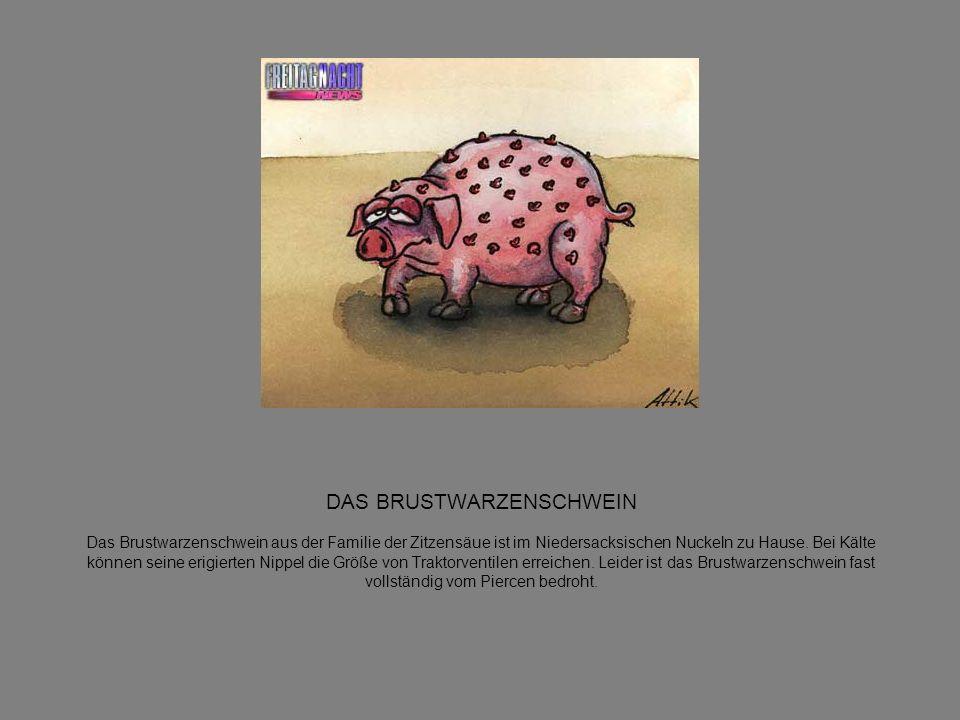 DAS BRUSTWARZENSCHWEIN Das Brustwarzenschwein aus der Familie der Zitzensäue ist im Niedersacksischen Nuckeln zu Hause.