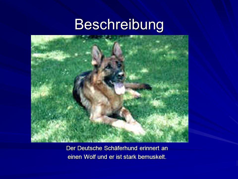 Beschreibung Der Deutsche Schäferhund erinnert an