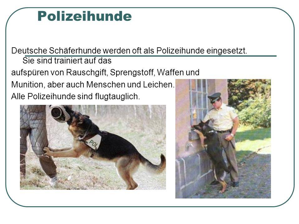 Polizeihunde Deutsche Schäferhunde werden oft als Polizeihunde eingesetzt. Sie sind trainiert auf das.