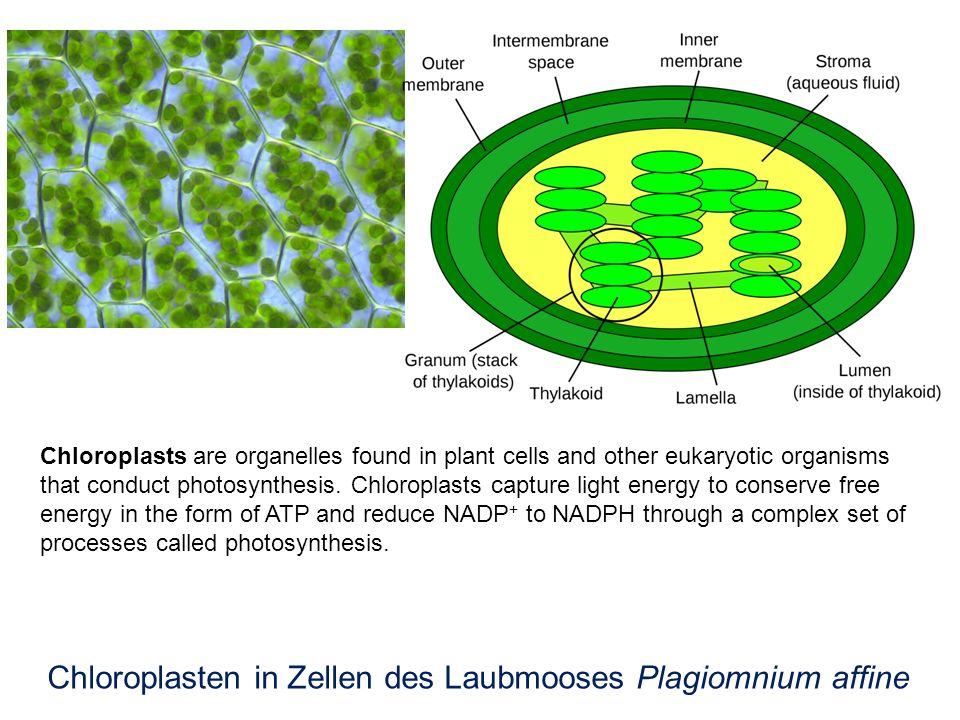 Chloroplasten in Zellen des Laubmooses Plagiomnium affine
