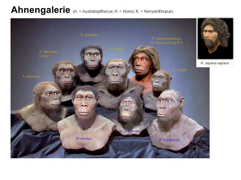 Ahnengalerie (A. = Australopithecus; H. = Homo; K. = Kenyanthropus)