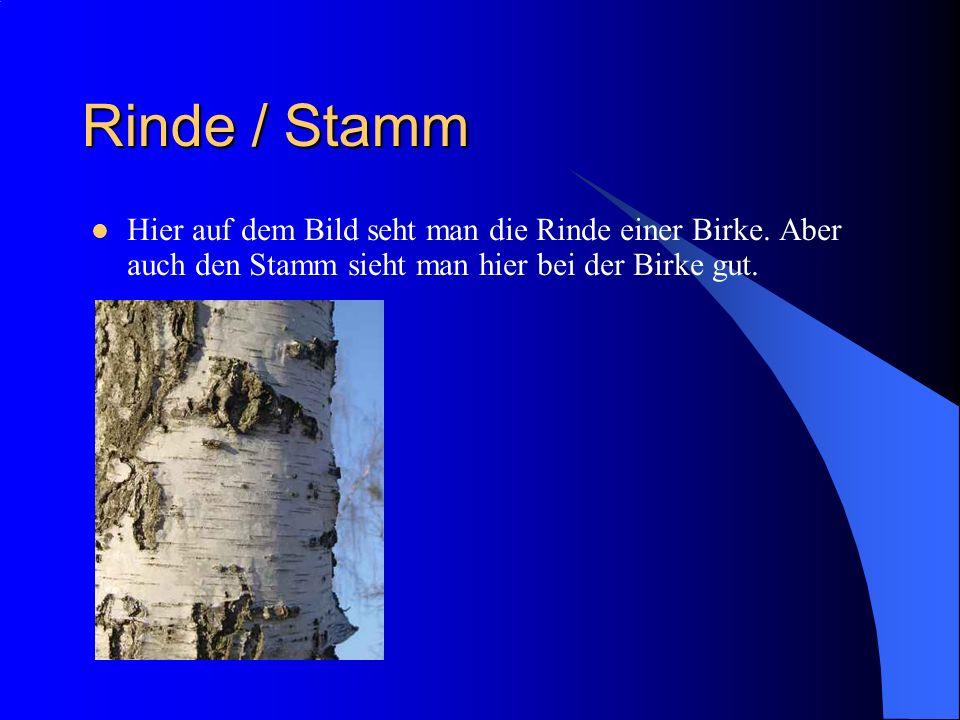 Rinde / Stamm Hier auf dem Bild seht man die Rinde einer Birke.