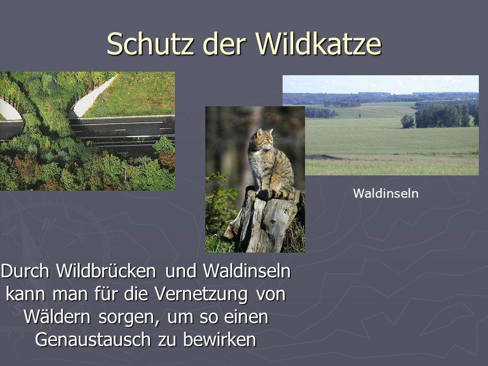 Schutz der Wildkatze Waldinseln.