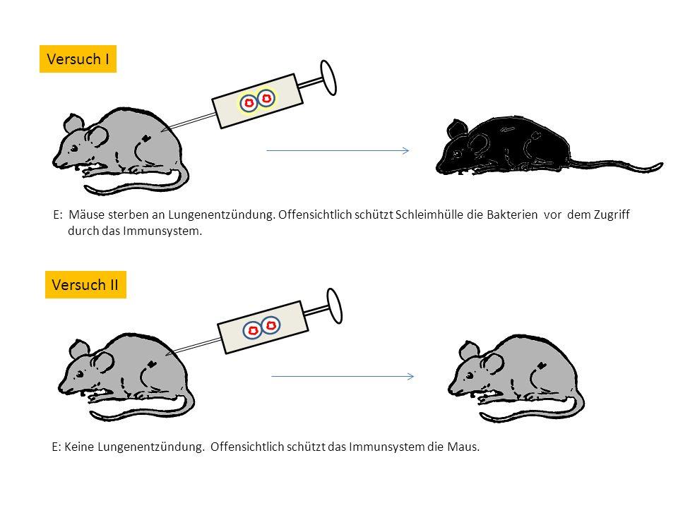 Versuch I E: Mäuse sterben an Lungenentzündung. Offensichtlich schützt Schleimhülle die Bakterien vor dem Zugriff durch das Immunsystem.