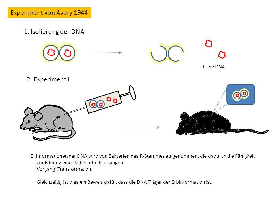 Experiment von Avery 1944 1. Isolierung der DNA 2. Experiment I