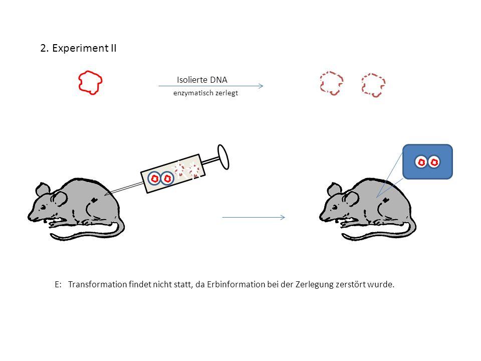 2. Experiment II Isolierte DNA