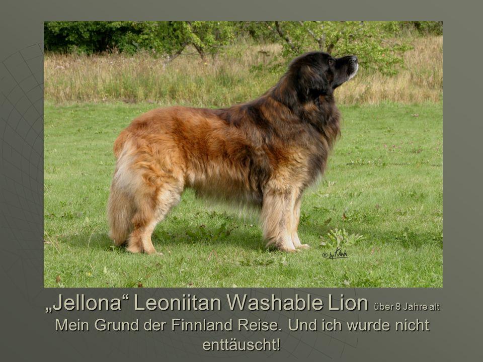 """""""Jellona Leoniitan Washable Lion über 8 Jahre alt Mein Grund der Finnland Reise."""