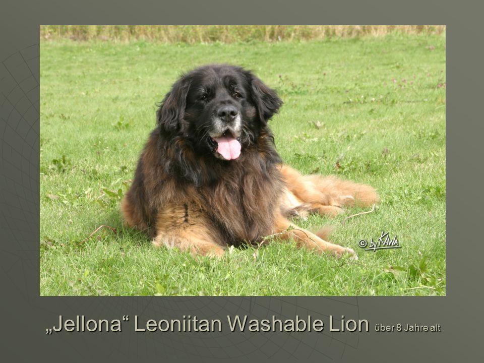 """Jellona Leoniitan Washable Lion über 8 Jahre alt"