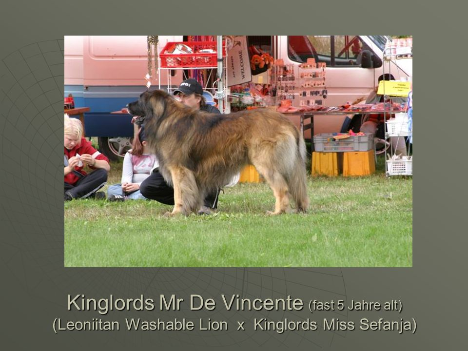 Kinglords Mr De Vincente (fast 5 Jahre alt) (Leoniitan Washable Lion x Kinglords Miss Sefanja)