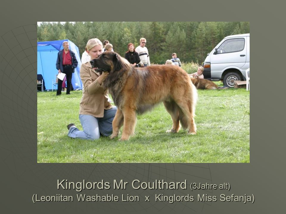 Kinglords Mr Coulthard (3Jahre alt) (Leoniitan Washable Lion x Kinglords Miss Sefanja)