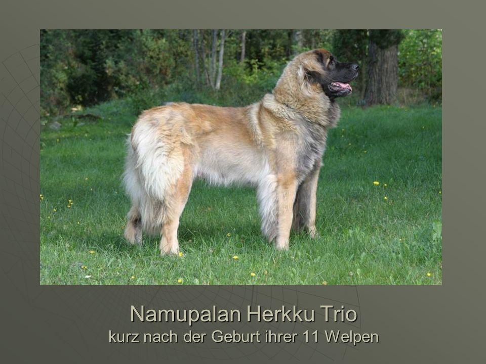 Namupalan Herkku Trio kurz nach der Geburt ihrer 11 Welpen