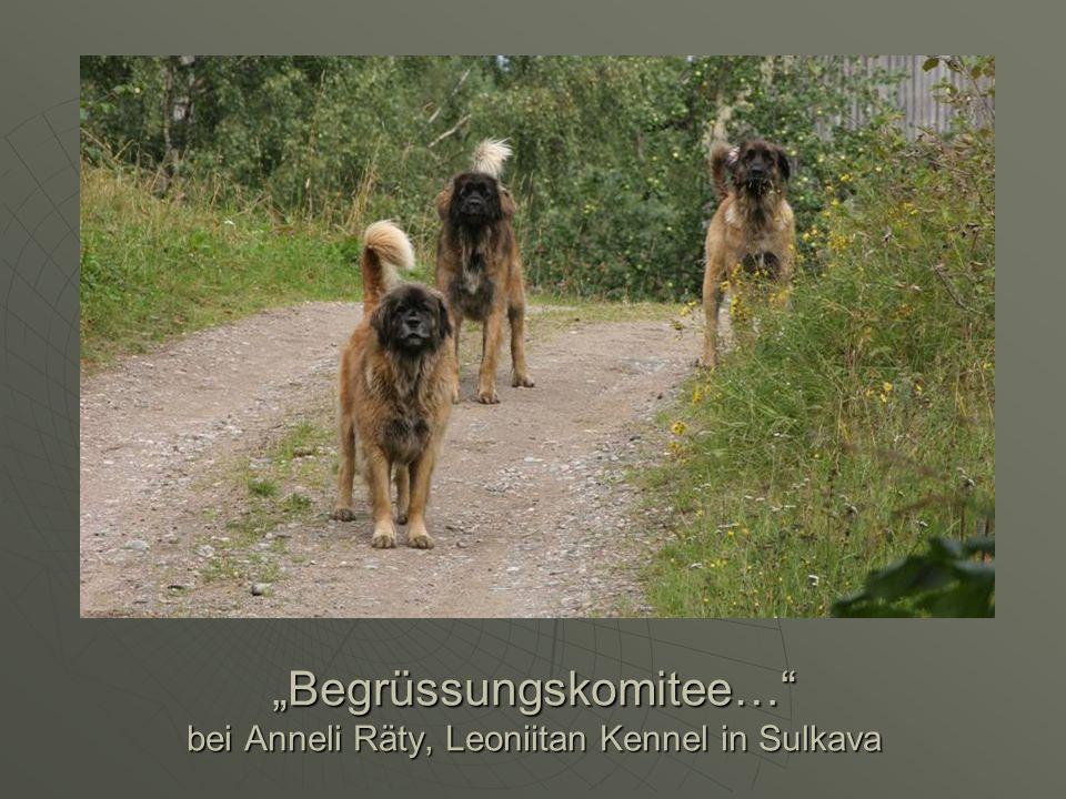 """""""Begrüssungskomitee… bei Anneli Räty, Leoniitan Kennel in Sulkava"""