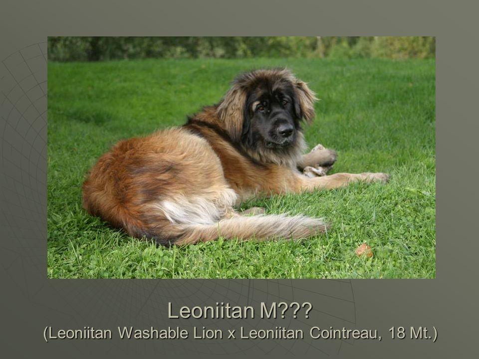 Leoniitan M (Leoniitan Washable Lion x Leoniitan Cointreau, 18 Mt.)