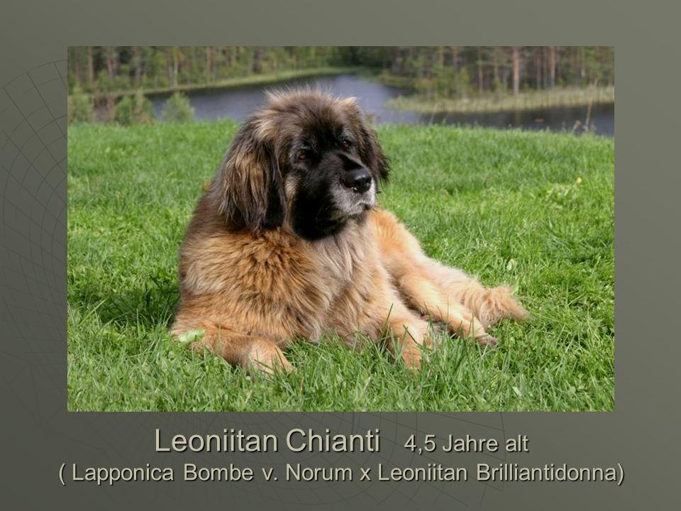 Leoniitan Chianti 4,5 Jahre alt ( Lapponica Bombe v