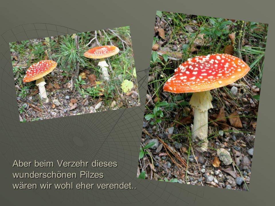Aber beim Verzehr dieses wunderschönen Pilzes wären wir wohl eher verendet..
