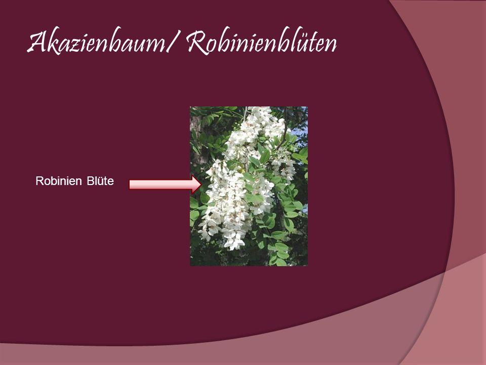 Akazienbaum/ Robinienblüten