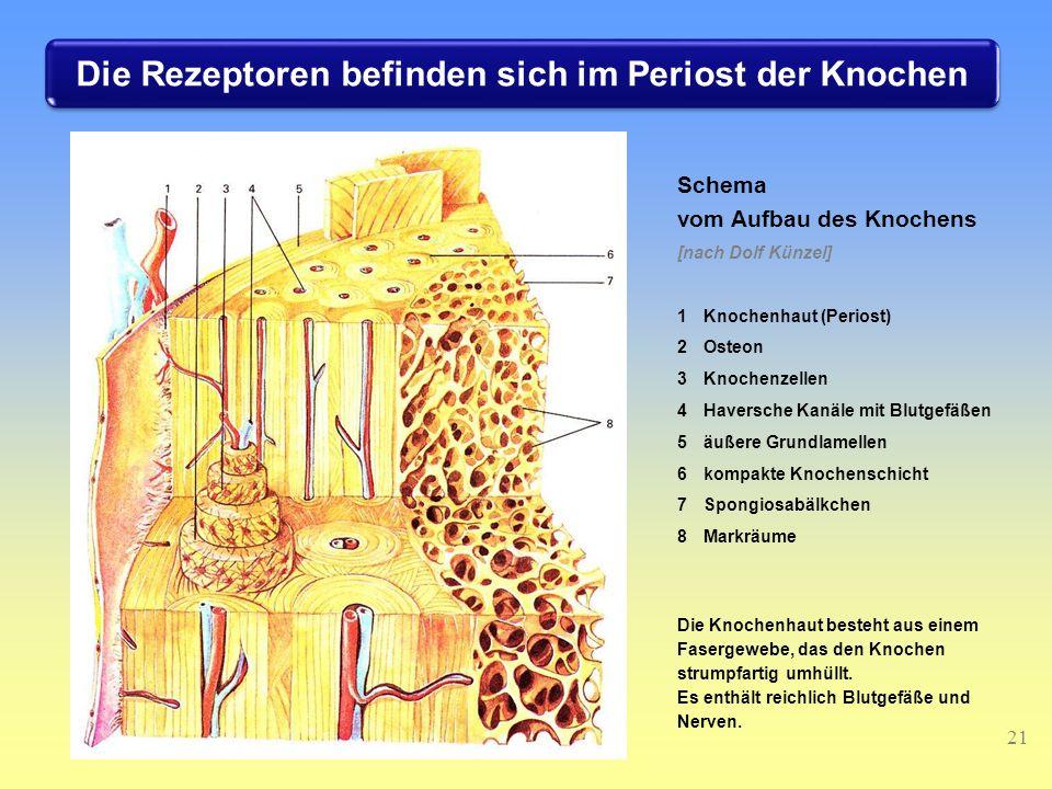Die Rezeptoren befinden sich im Periost der Knochen