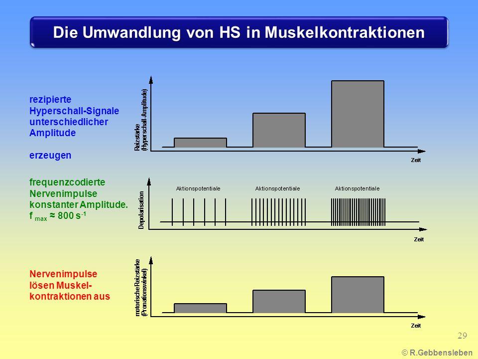 Die Umwandlung von HS in Muskelkontraktionen