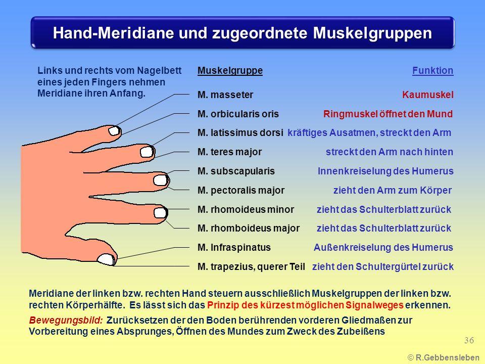 Hand-Meridiane und zugeordnete Muskelgruppen