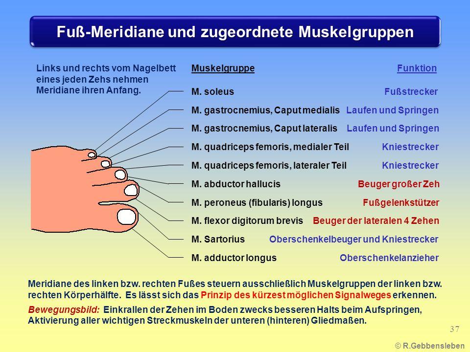 Fuß-Meridiane und zugeordnete Muskelgruppen