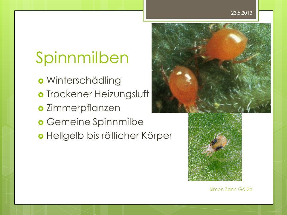 Spinnmilben Winterschädling Trockener Heizungsluft Zimmerpflanzen