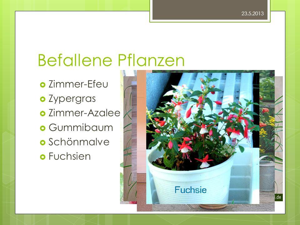 Befallene Pflanzen Zimmer-Efeu Zypergras Zimmer-Azalee Gummibaum