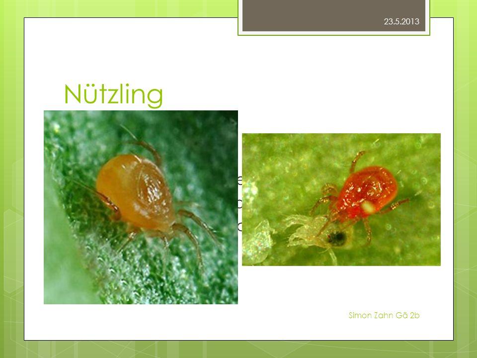 Nützling Raubmilben Kaum grösser Direkt auf den Pflanzen