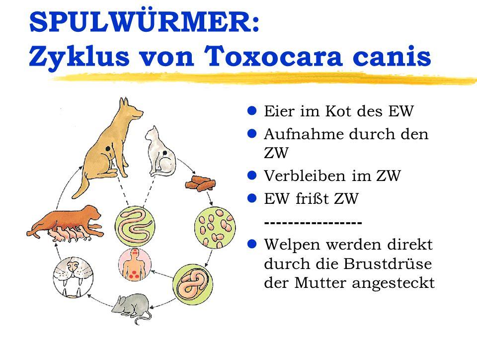 SPULWÜRMER: Zyklus von Toxocara canis
