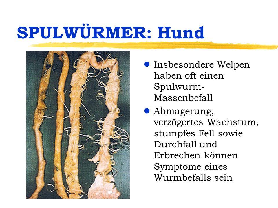 SPULWÜRMER: Hund Insbesondere Welpen haben oft einen Spulwurm-Massenbefall.