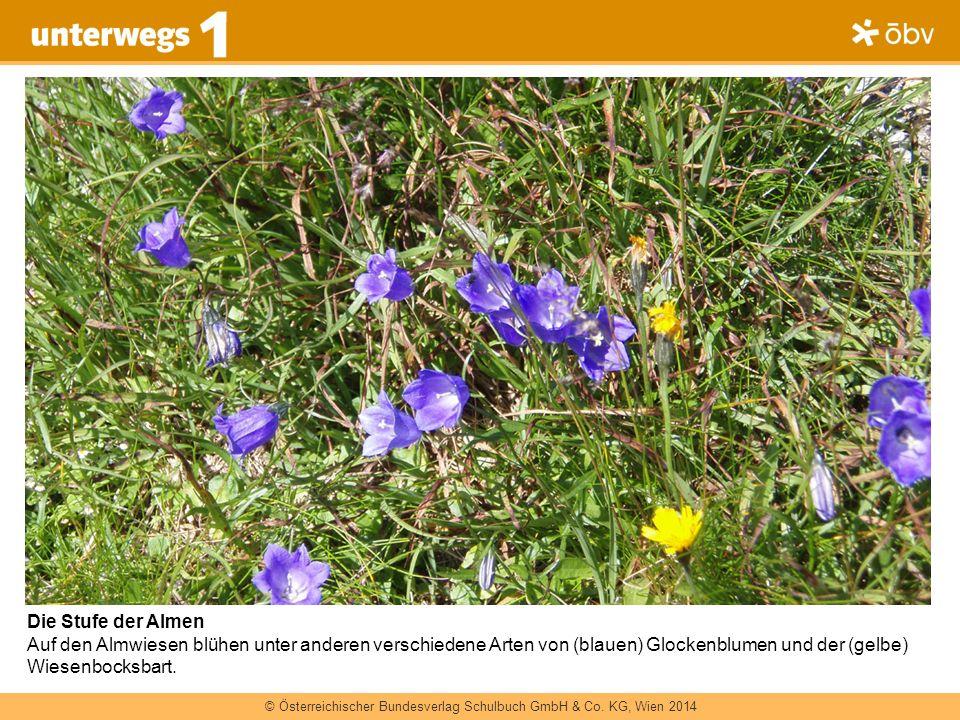 Die Stufe der Almen Auf den Almwiesen blühen unter anderen verschiedene Arten von (blauen) Glockenblumen und der (gelbe) Wiesenbocksbart.