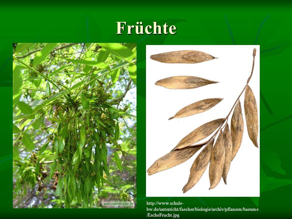 Früchte http://www.schule-bw.de/unterricht/faecher/biologie/archiv/pflanzen/baeume/EscheFrucht.jpg