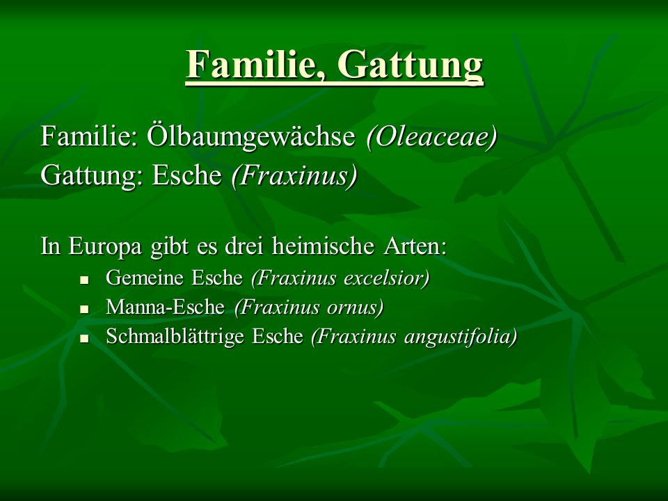 Familie, Gattung Familie: Ölbaumgewächse (Oleaceae)
