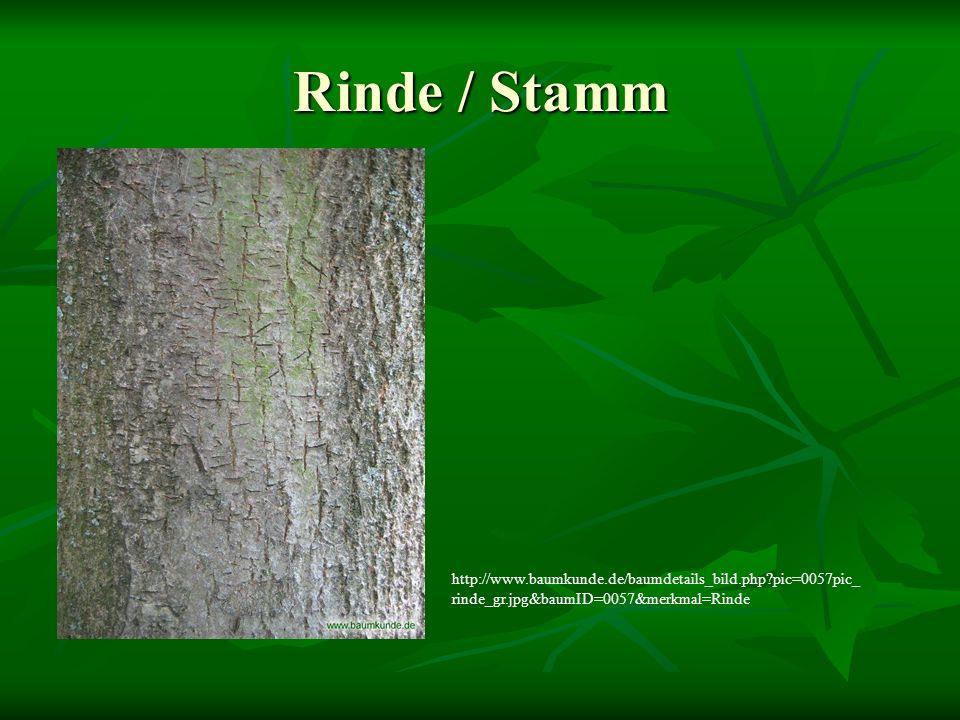 Rinde / Stamm http://www.baumkunde.de/baumdetails_bild.php pic=0057pic_rinde_gr.jpg&baumID=0057&merkmal=Rinde.