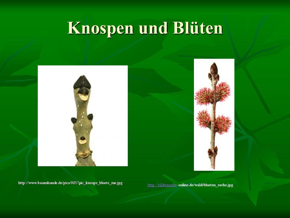 Knospen und Blüten http://www.baumkunde.de/pics/0057pic_knospe_bluete_me.jpg.