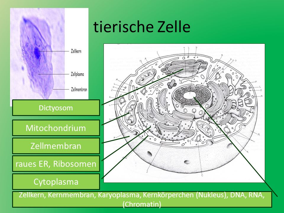 Arbeitsblatt Pflanzliche Tierische Zelle : Tierische zelle mitochondrium zellmembran raues er