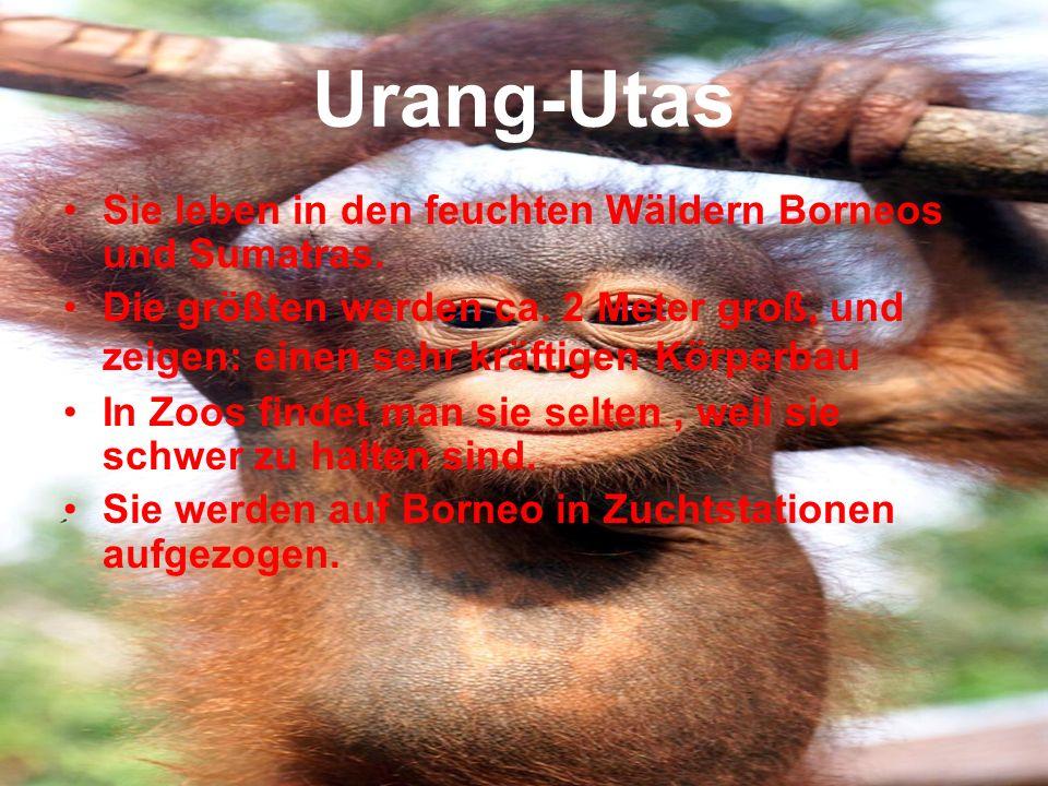 Urang-Utas Sie leben in den feuchten Wäldern Borneos und Sumatras.