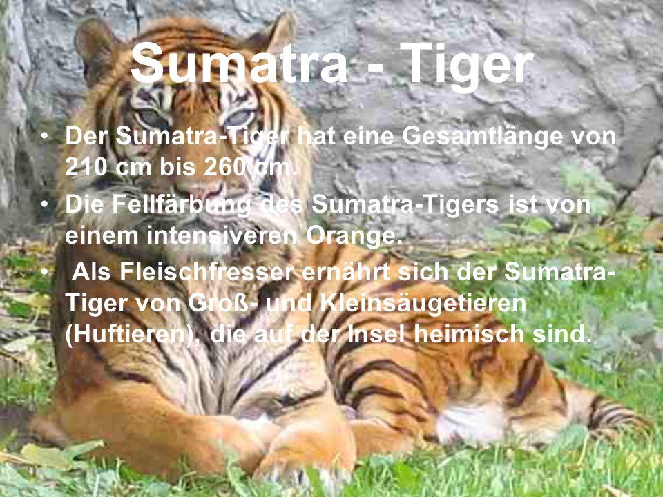 Sumatra - Tiger Der Sumatra-Tiger hat eine Gesamtlänge von 210 cm bis 260 cm. Die Fellfärbung des Sumatra-Tigers ist von einem intensiveren Orange.