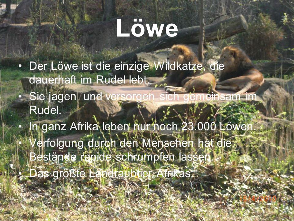Löwe Der Löwe ist die einzige Wildkatze, die dauerhaft im Rudel lebt.