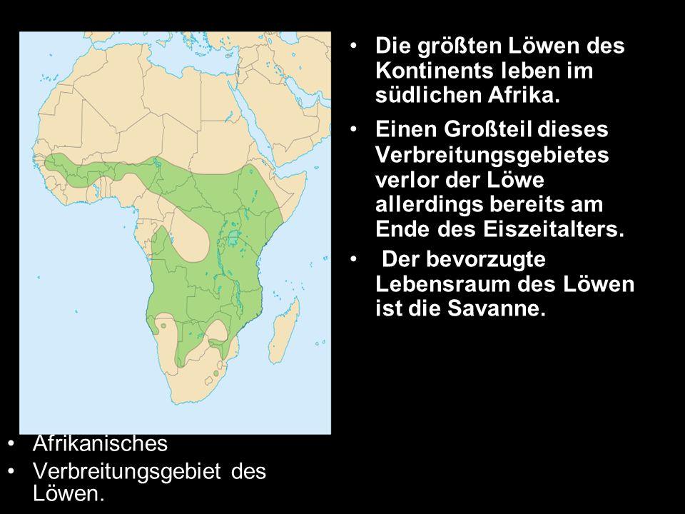 Die größten Löwen des Kontinents leben im südlichen Afrika.