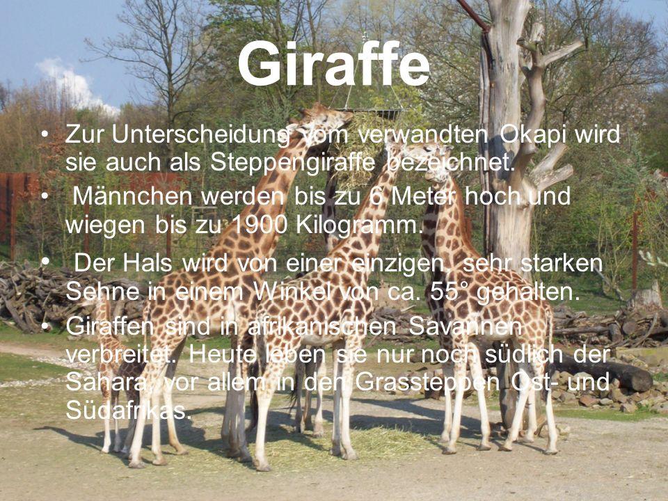 Giraffe Zur Unterscheidung vom verwandten Okapi wird sie auch als Steppengiraffe bezeichnet.