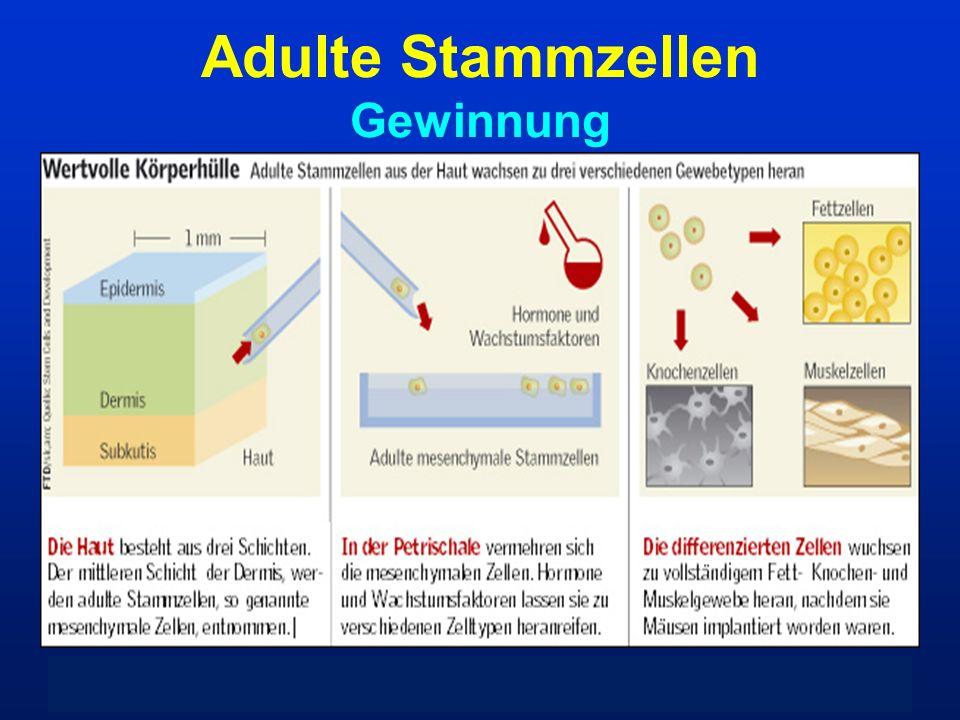 Adulte Stammzellen Gewinnung