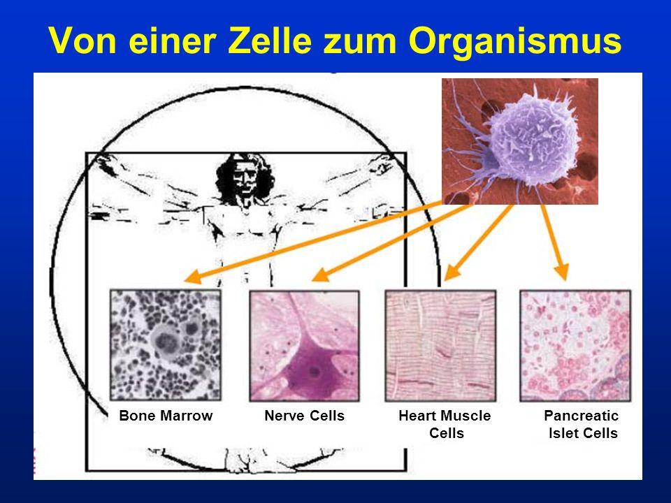 Von einer Zelle zum Organismus