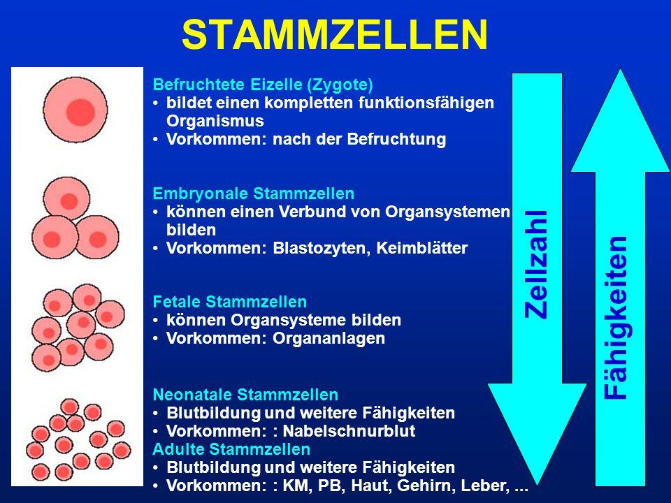 STAMMZELLEN Zellzahl Fähigkeiten Befruchtete Eizelle (Zygote)
