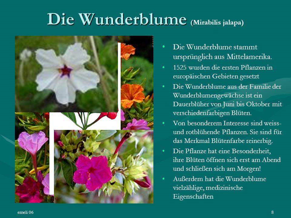Die Wunderblume (Mirabilis jalapa)