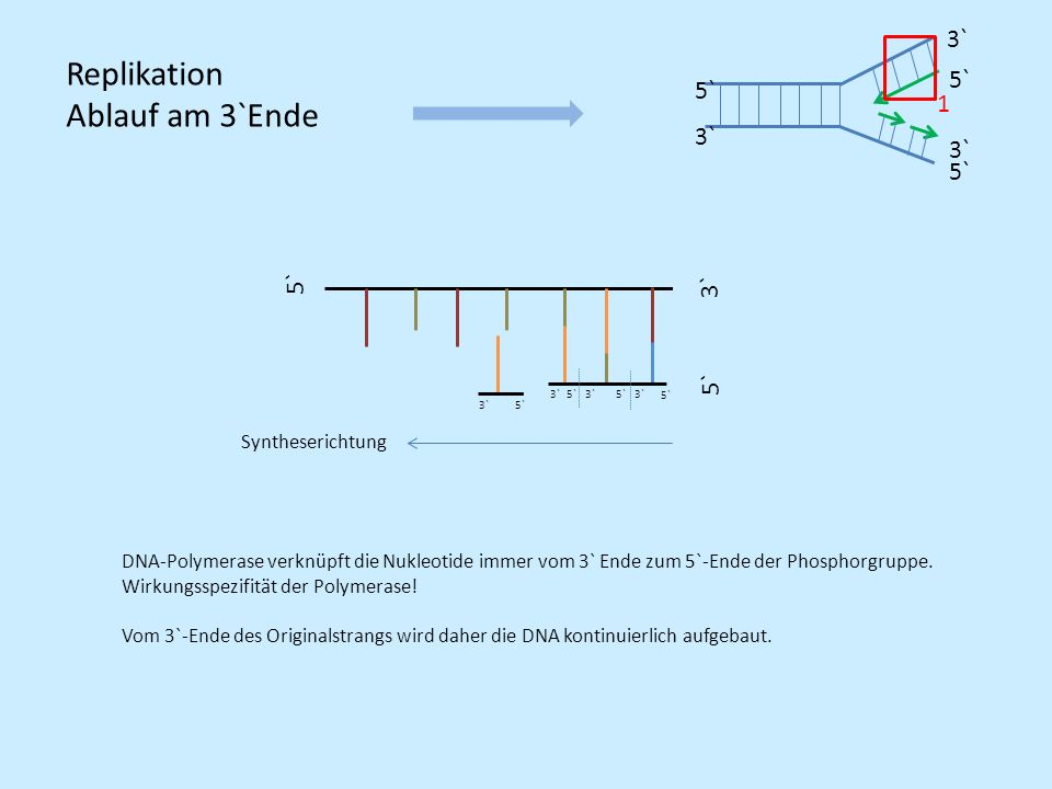 Replikation Ablauf am 3`Ende 3` 5` 1 5` 3` 5` Syntheserichtung